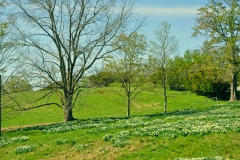 Daffodils FIELD   11X14