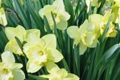 Daffodils Litchfield 012 11x14