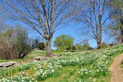 Daffodils Litchfield 021_edited-1