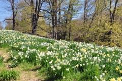 Daffodils Litchfield 022_edited-1 11x14