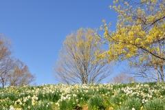 Daffodils Litchfield 034  11x14