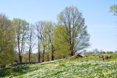 Daffodils Litchfield 060