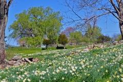 Daffodils Litchfield field 11x14