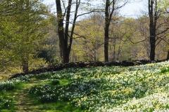 Daffodils Litchfield field flowers 11x14