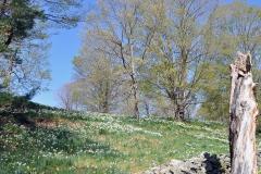 Daffodils Litchfield s, TRUNK, Stone wall 11X14_edited-1