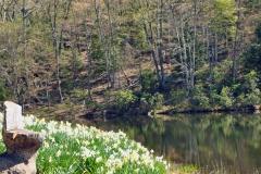 Daffodils Litchfield seat 11x14