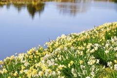 Daffodils-Pond