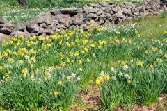 Daffodils STONE WALL 1  11X14