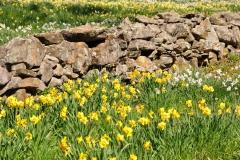 Daffodils-Stone-Wall-Wildflower