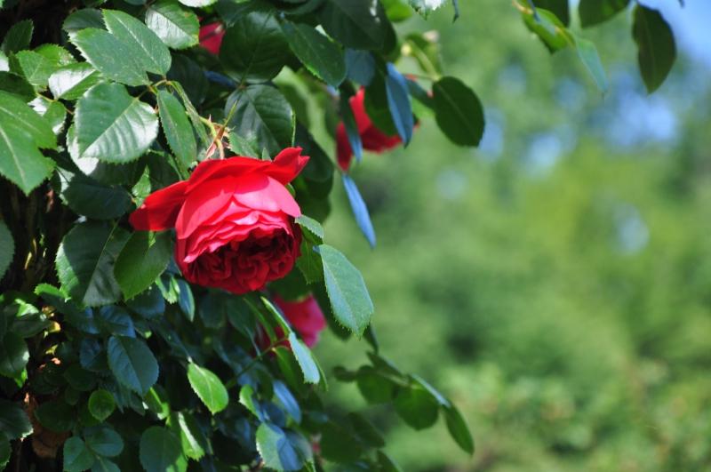 elizabeth-park-rose-gardens-west-hartford (10)