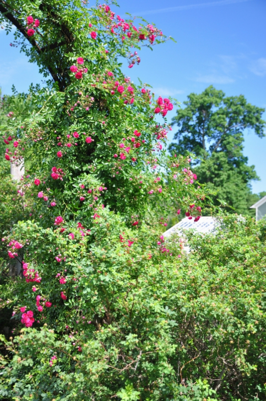 elizabeth-park-rose-gardens-west-hartford (12)