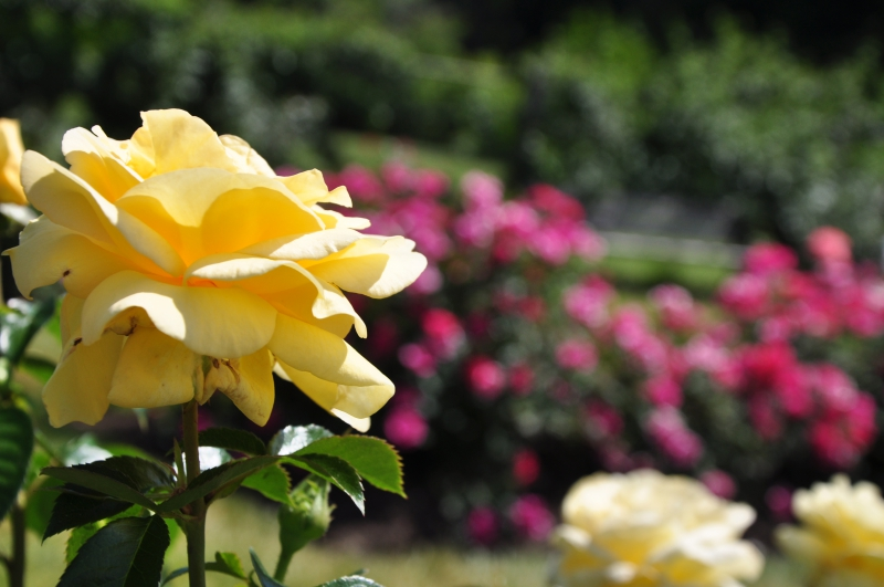 elizabeth-park-rose-gardens-west-hartford (15)