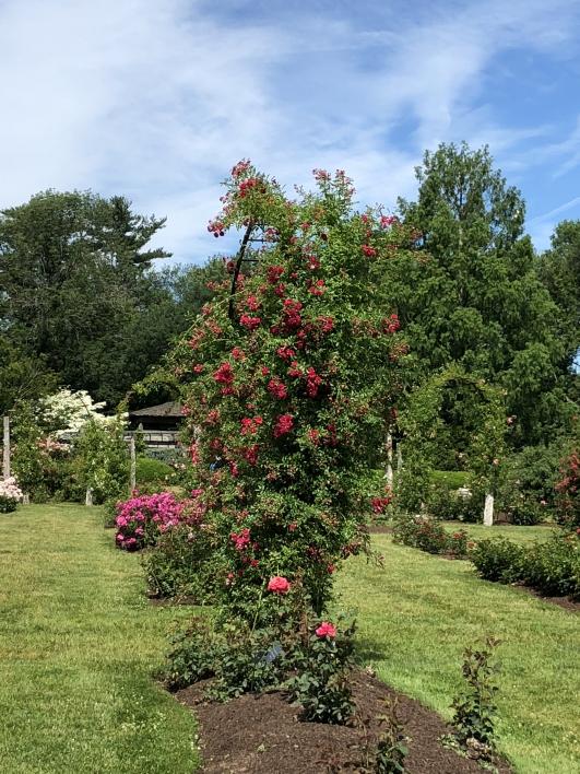 elizabeth-park-rose-gardens-west-hartford (20)