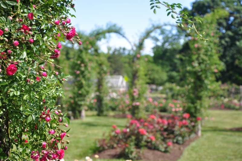 elizabeth-park-rose-gardens-west-hartford (6)