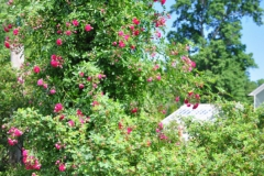 elizabeth-park-rose-gardens-west-hartford (12)