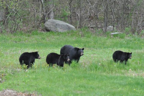Bears in Simsbury CT, things to do in Simsbury