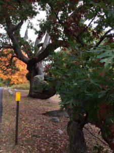 Dewey-Granby Oak