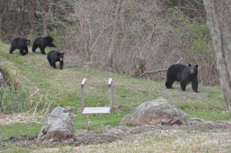 Mama Bear 3 Cubs West Simsbury, CT