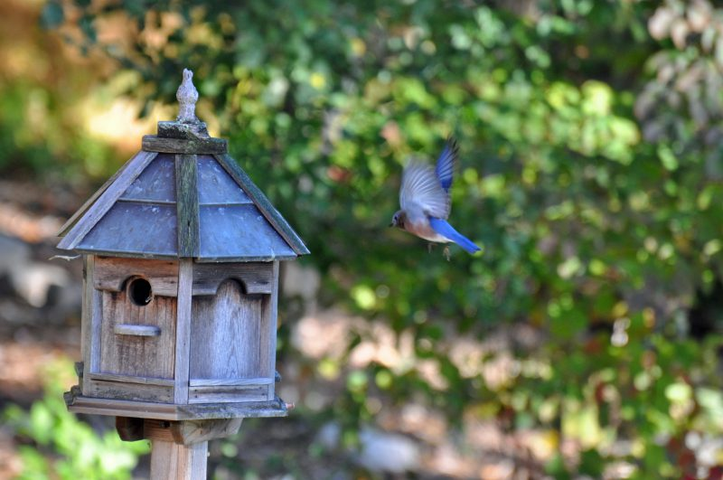 Bluebird making a landing at home
