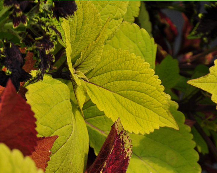 Coleus! Great for shade gardens to add bright color to a dark area of the garden.