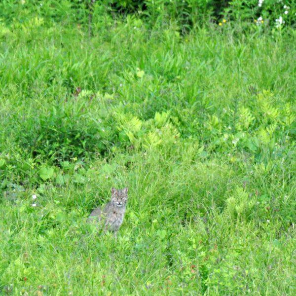 Bob Cat resting in Grass