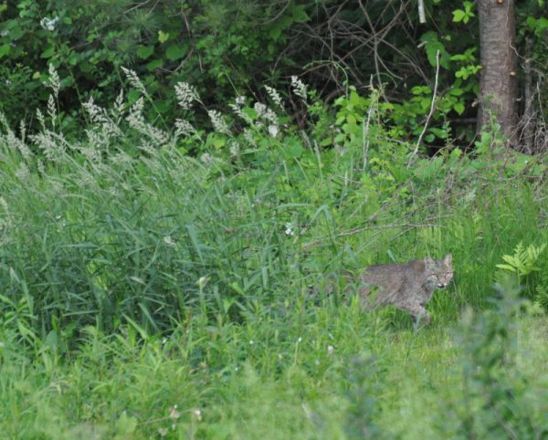 Bobcat walking the paths in West Simsbury