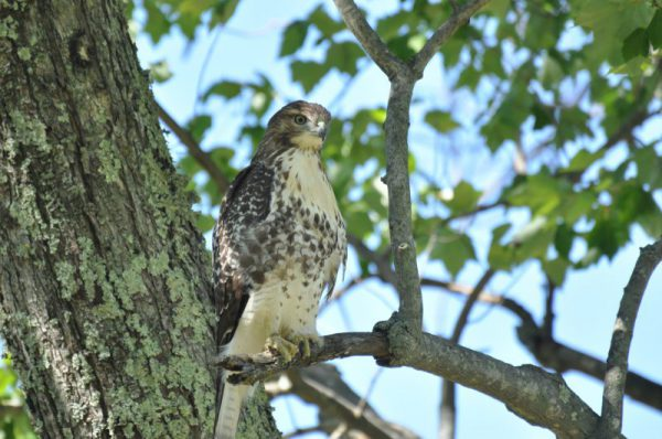 West Simsbury Wildlife - Hawk in Tree