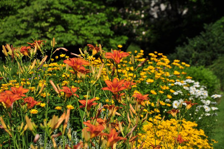 Perennial Beds -Elizabeth Park, West Hartford, CT - orange day lilies, yarrow, daisies.
