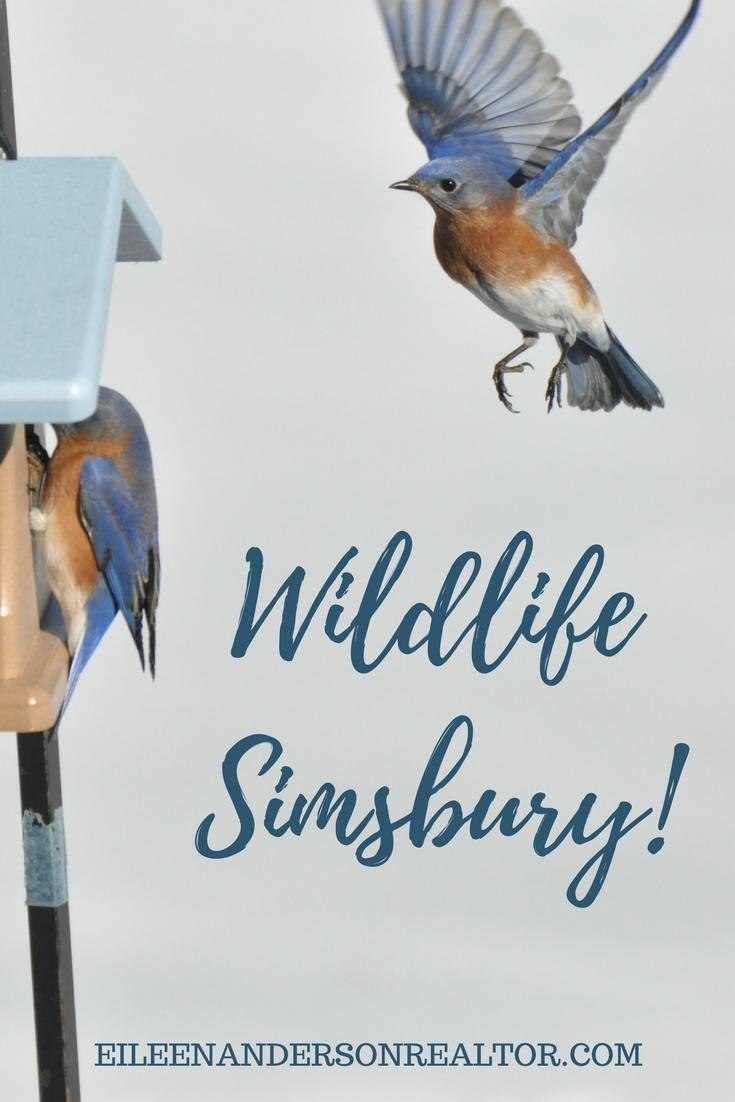 Bluebirds Simsbury ct