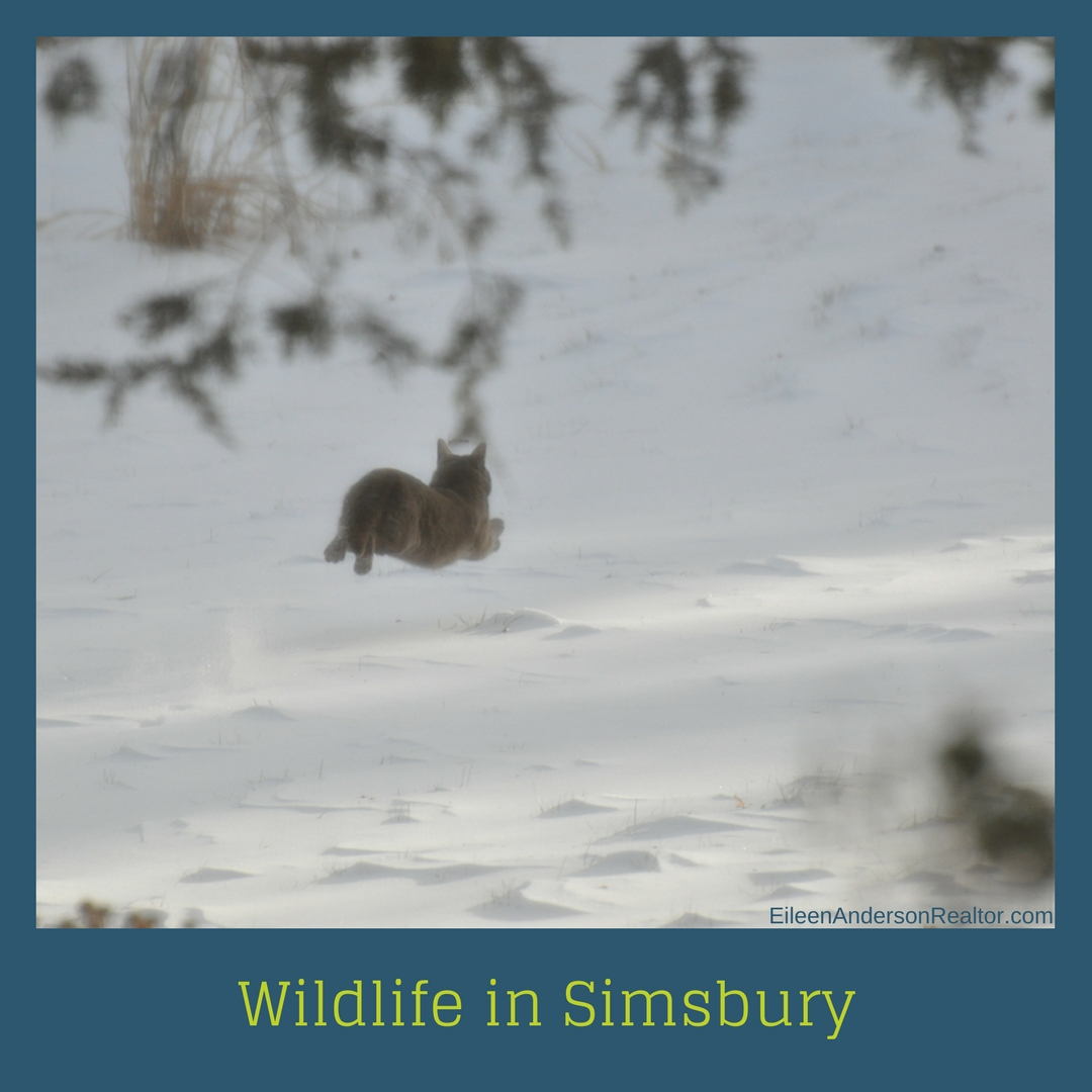Wild Cat running Simsbury CT