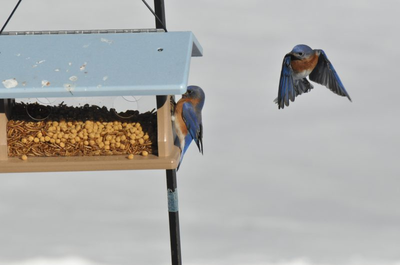 Bluebird coming in for a landing...He is thinking get out of my way!