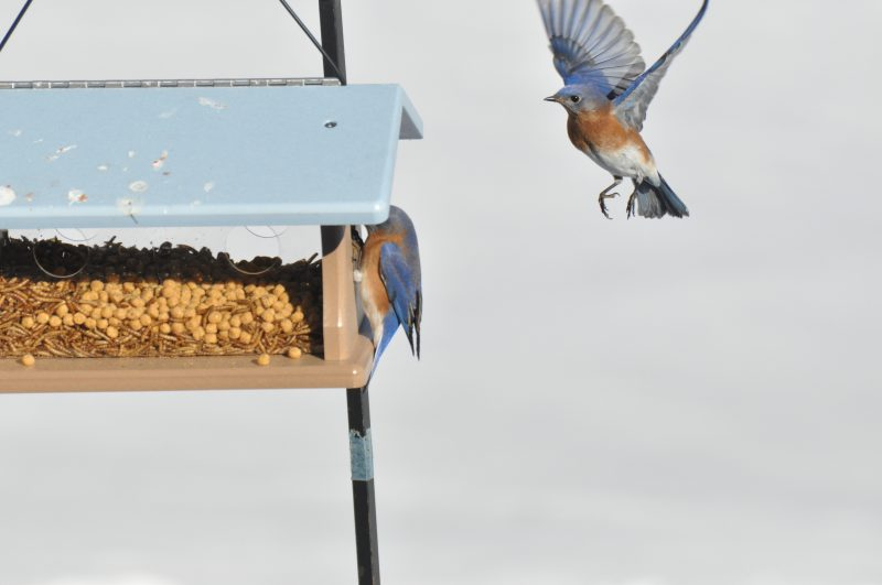 Bluebird Feeding, WesBluebird Feeding, West Simsbury, Ctt Simsbury, Ct