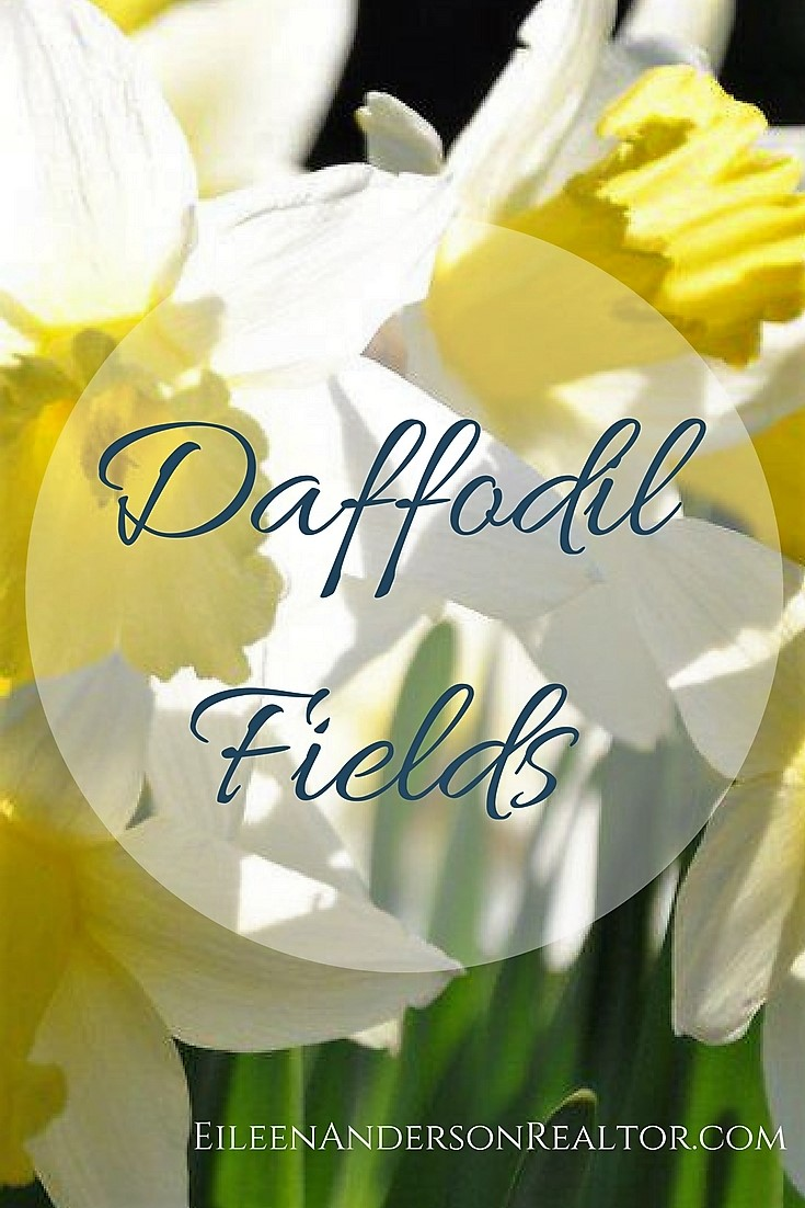 Litchfield Daffodil Fields