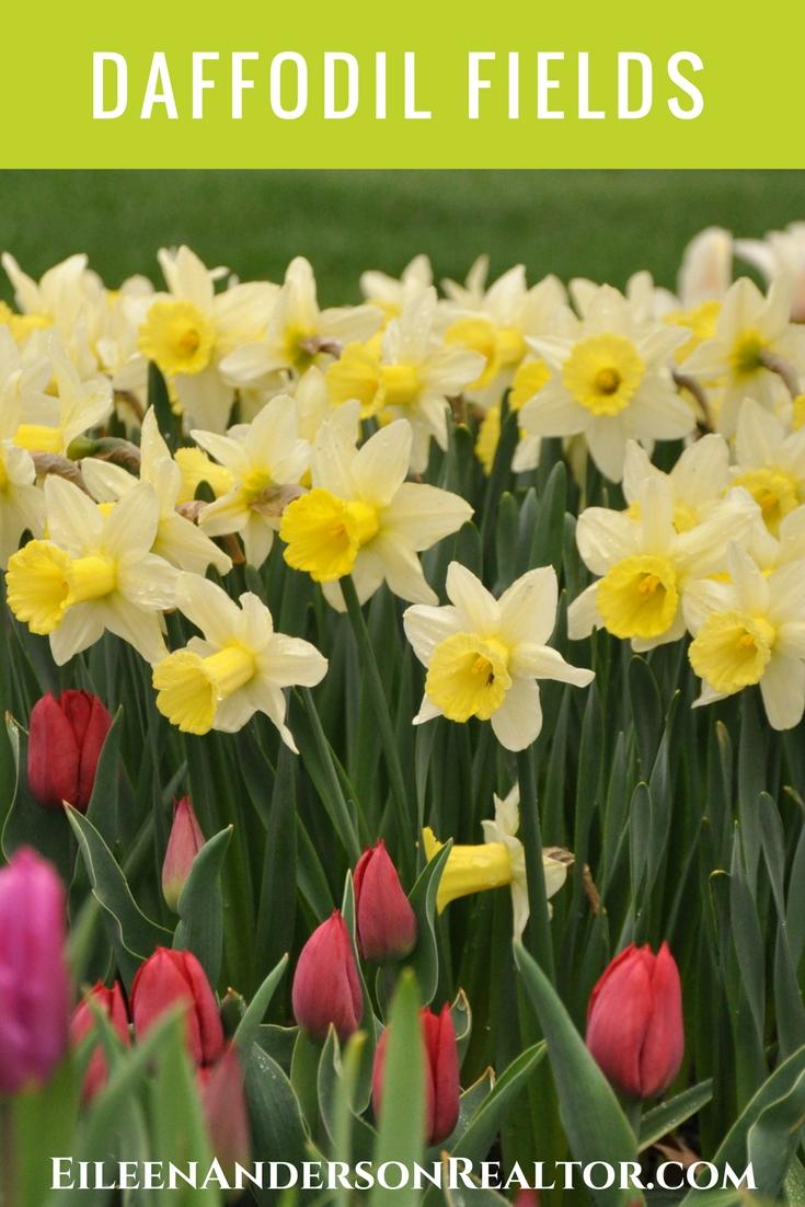 Litchfield Daffodil fields