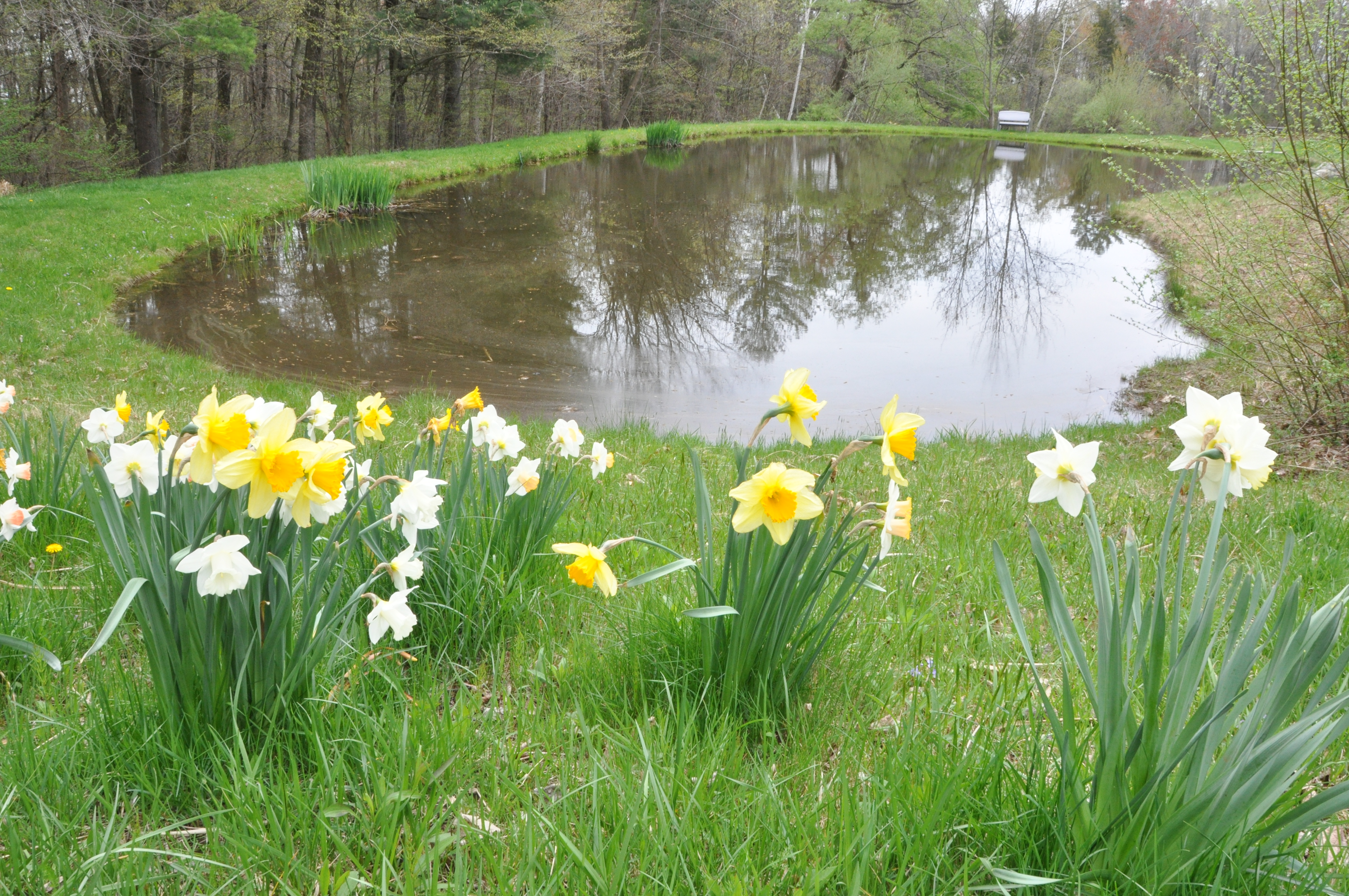 Views of pond and daffodils in Spring 208 Westledge Road, West Simsbury