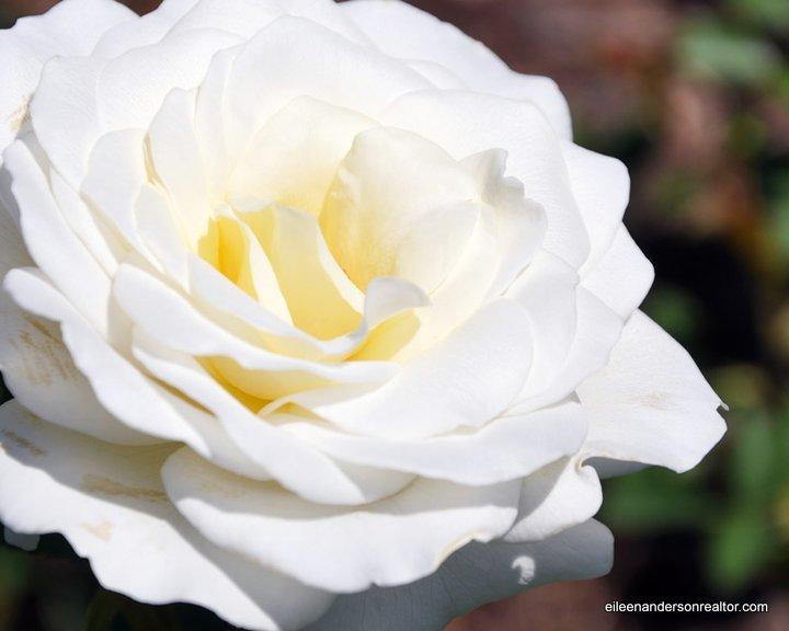 Maintenance roses - garden tips