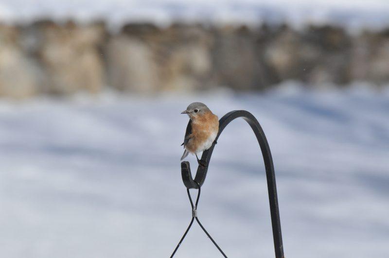 Blue birds Westledge, West Simsbury, CT