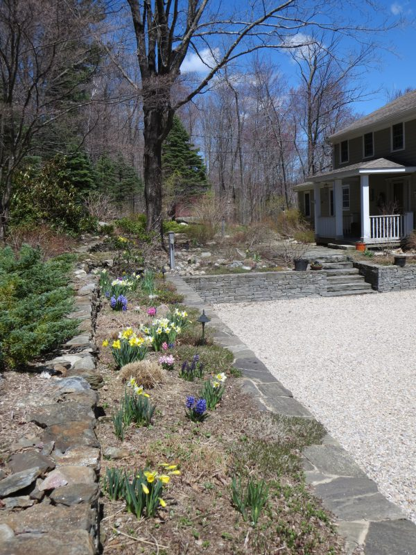View of spring bulbs in garden along driveway at 208 Westledge, West Simsbury, CT