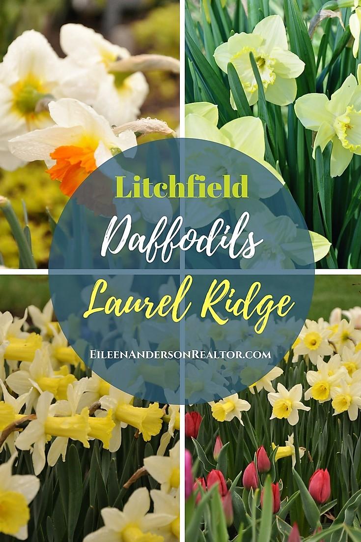 litchfield Daffodils