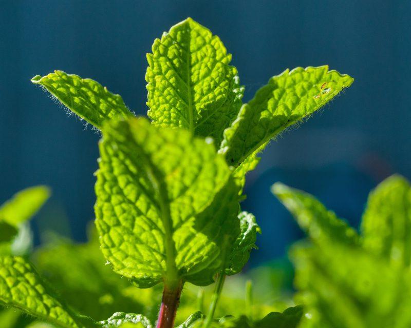Mint-plant-june-gardening-checklist